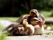 Little quaker. Stock Photography