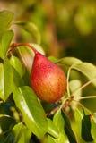 Little röd Pear på Tree Royaltyfri Fotografi