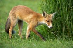 Little röd räv i dynerna Arkivfoton