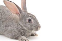 Little Rabbit Stock Photo