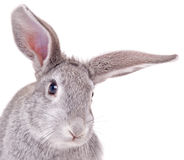 Little rabbit. On a white background Stock Images