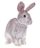 Little rabbit. On a white background Royalty Free Stock Image