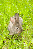 Little Rabbit Royalty Free Stock Photo