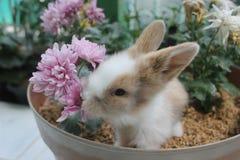 Little Rabbit. Eating flower on a pot stock photo