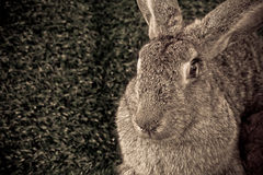 Little rabbit. The flemish giant rabbit on the grass background stock photography