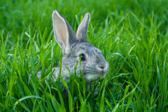 Little rabbit Royalty Free Stock Images