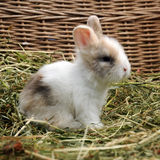Little Rabbit Royalty Free Stock Photos