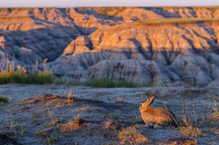Little Rabbit in Badlands at Sunrise Stock Photo