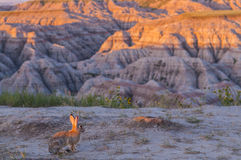 Little Rabbit in Badlands at Sunrise Royalty Free Stock Photos