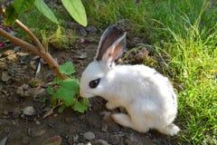 Little rabbit. Beautiful little rabbit eats leaf Stock Photo