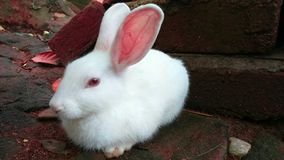 Little Rabbit. A beautiful White Rabbit which is so cute Stock Image