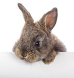 Little rabbit with blank billboard Stock Image