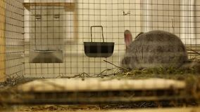 Little rabbit breed of gray silver chinchilla stock video footage