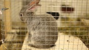 Little rabbit breed of gray silver chinchilla. Video little rabbit breed of gray silver chinchilla stock video footage