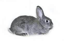 Little rabbit breed of gray silver chinchilla. On white background Royalty Free Stock Image