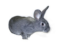 Little rabbit breed of gray silver chinchilla Royalty Free Stock Images