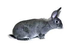 Little rabbit breed of gray silver chinchilla Stock Images