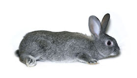 Little rabbit breed of gray silver chinchilla Royalty Free Stock Photography