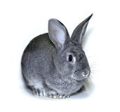 Little rabbit breed of gray silver chinchilla Stock Image