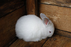 Little rabbit cornered. Stock Image