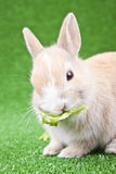 Little rabbit eating green salad Stock Photography