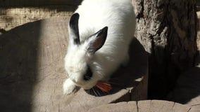 Little rabbit eats carrots stock footage