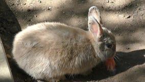 Little rabbit eats carrots stock video