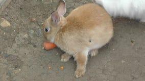 Little rabbit eats carrots stock video footage