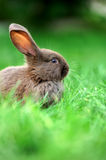 Little rabbit in grass Royalty Free Stock Image