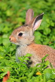 Little rabbit in a green field. Rabbit cub sitting in a green field Royalty Free Stock Photography