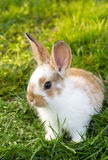 Little rabbit Royalty Free Stock Photos