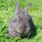 Little rabbit on green grass Royalty Free Stock Image