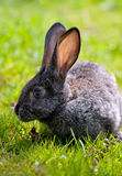 Little rabbit Royalty Free Stock Photo