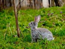 Little rabbit Royalty Free Stock Photography