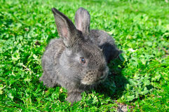 Little rabbit on green grass Royalty Free Stock Image
