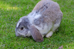 Little rabbit on green grass background. Royalty Free Stock Image