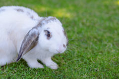 Little rabbit on green grass background. Royalty Free Stock Photography