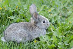 Little rabbit in green grass. Bunny in the meadow. Hare is sitting in the green grass stock image