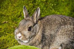 Little rabbit Royalty Free Stock Photography