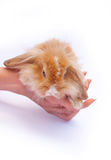 Little rabbit in the hands. Of the white background Stock Images