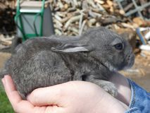 Little rabbit on hands stock photos