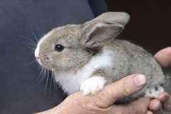 Little rabbit in the hands of a man. Farmer holding rabbit stock photo
