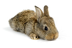 Little rabbit Stock Photos