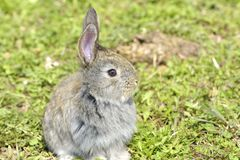 The little rabbit is on a pasture. Little rabbit is on a pasture Stock Image