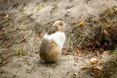 Little rabbit sitting next to hole in ground Royalty Free Stock Photo