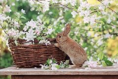 Little rabbit in spring orchard stock images