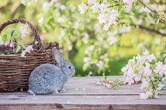 Little rabbit in spring orchard stock image