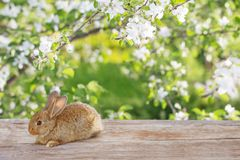 Little rabbit in spring orchard royalty free stock photo