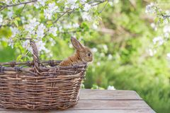 Little rabbit in spring orchard. Red little rabbit in spring orchard stock photo