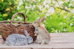 Little rabbit in spring orchard. With basket stock photo